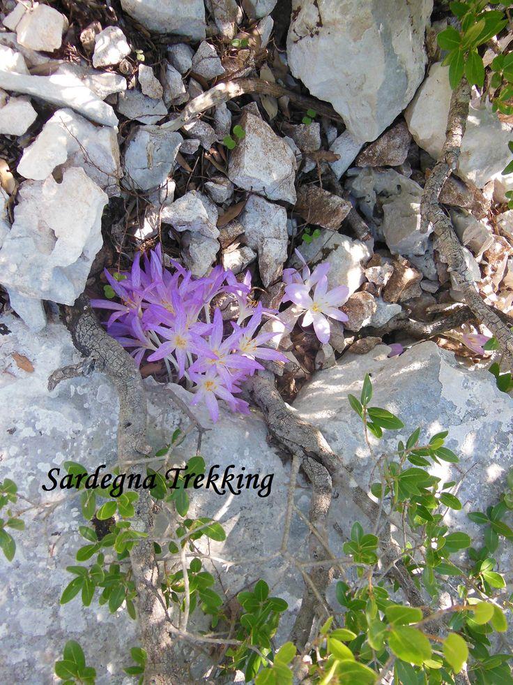 I fiori dell'Isola Paradiso........... http://sardegnatrekking.wordpress.com/