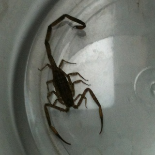 Lesser brown scorpion. Yucky.