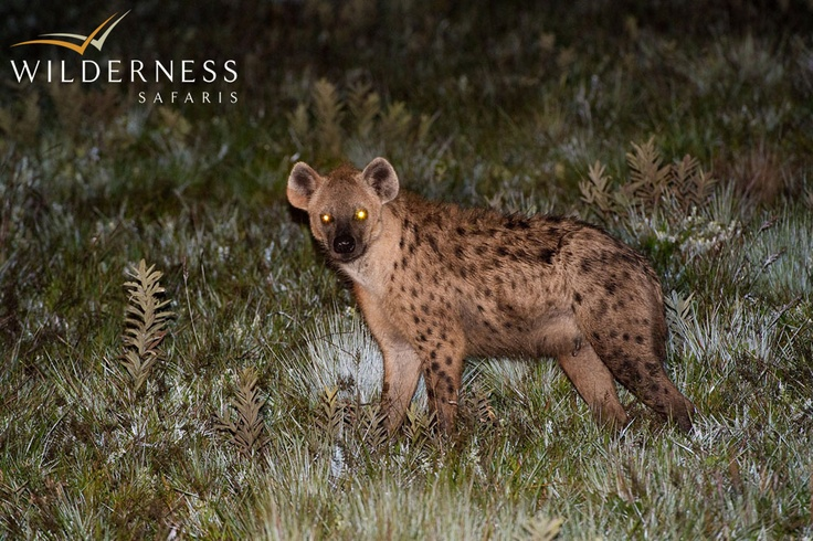Chelinda Camp - Spotted hyaena are seen on the plateau and can be heard calling during the darkness at night. #Safari #Africa #Malawi #WildernessSafaris