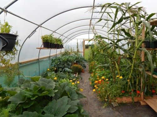 The Sow and So Belgium Garden this week; A booming polytunnel, tomatillos, massive courgette plants and a lot more.