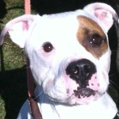 Upton O'Good is an adoptable American Bulldog Dog in Branchburg, NJ. HEY! My name is Upton O'Good and I am an American Bulldog mix. I am a active boy who loves to play, but I also like to have some do...