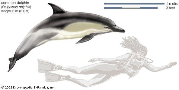 Common dolphin (Delphinus delphis).