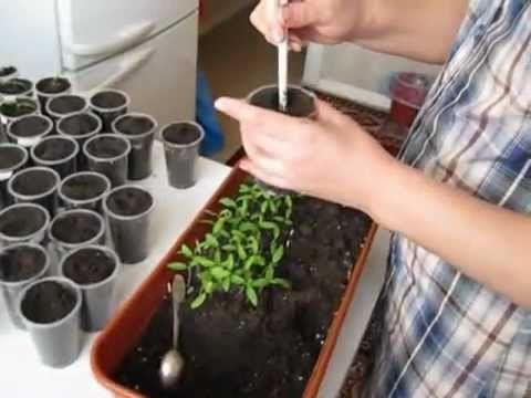 С чего начинаются томаты? В помощь начинающим огородникам