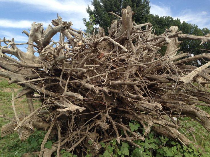 Астраханский корень