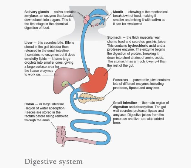 the characteristics of the human digestive system and the process of digestion The human digestive system consists of the gastrointestinal tract plus the accessory organs of digestion (the tongue, salivary glands, pancreas, liver, and gallbladder) in this system, the.