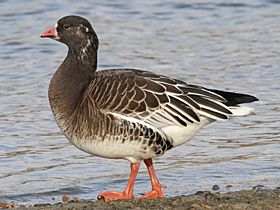 Ross's x Lesser White-fronted Goose, Whitlingham,17-Jan-11
