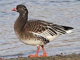 Ross's x Lesser White-fronted Goose, Whitlingham,17-Jan-11