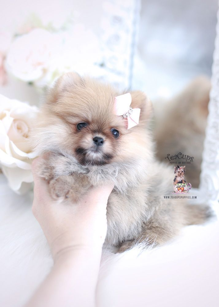 White Micro Teacup Pomeranians Teacups Puppies Boutique Cuteteacuppuppies White Micro Teacup Pomeranians Teacups Puppies Boutique Teacuppomeranianpu In 2020