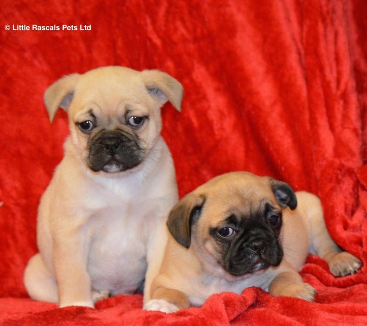 Playful Fawn 3/4 Pugs - Designer and Cross Breed Puppies For Sale