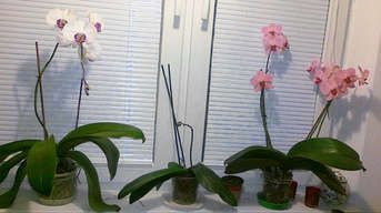Čo s orchideou po odkvitnutí? Vyberte si