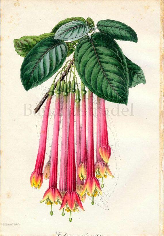 1847 Rare Antique Hand-coloured Botanical Print