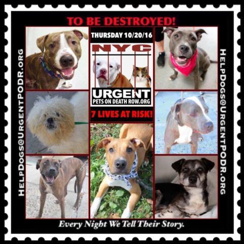 TO BE DESTROYED 10/20/16 - - Info  Please Share:    To rescue a Death Row Dog, Please read this:http://information.urgentpodr.org/adoption-info-and-list-of-rescues/   To view the full album, please click here: http://nycdogs.urgentpodr.org/tbd-dogs-page/ Please Share:-  Click for info & Current Status: http://nycdogs.urgentpodr.org/to-be-destroyed-4915/
