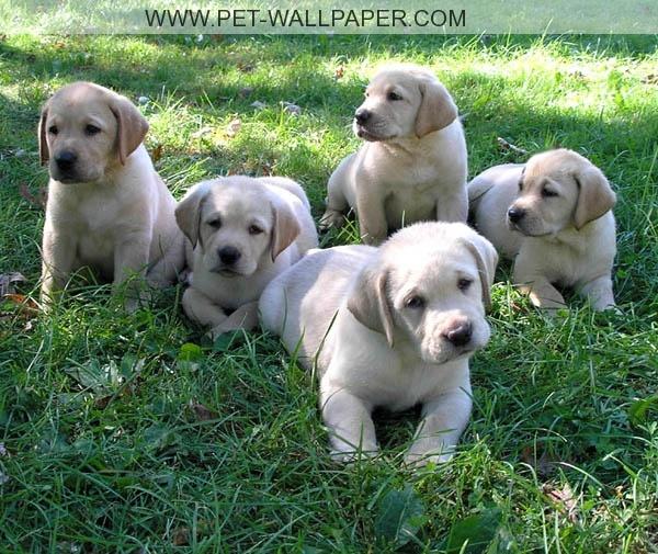 Funny Labrador Pictures Google Search Retriever Dog Lab