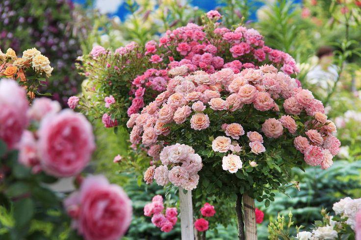 Журнал садовода ДЕЛЁНКА - Штамбовые розы вам по силам!