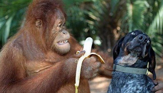 Ecco una compilation su diversi animali molto divertenti carini mentre mangiano. Cani gatti scimmie… Speriamo che vi piaccia la compilazione, un video tutto da gustare