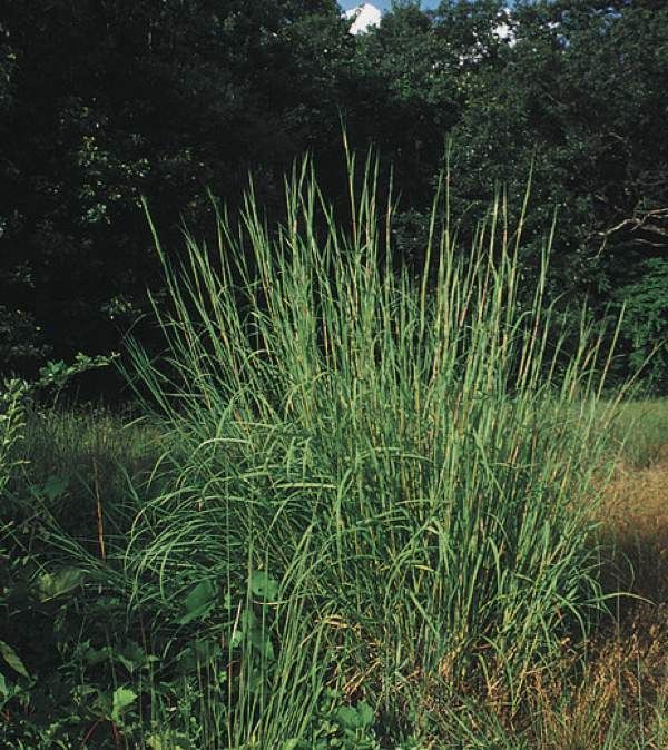 126 best images about butterfly garden planning zone 6a for Large grasses for landscaping