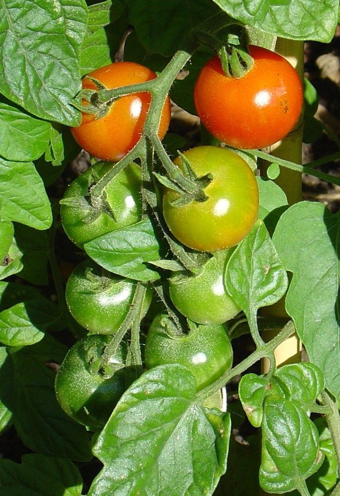 Clone Your Own Tomato Plants