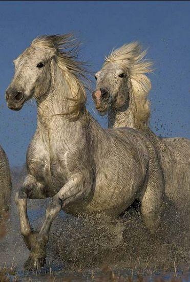 Les 396 meilleures images à propos de Camargue Horses sur ...