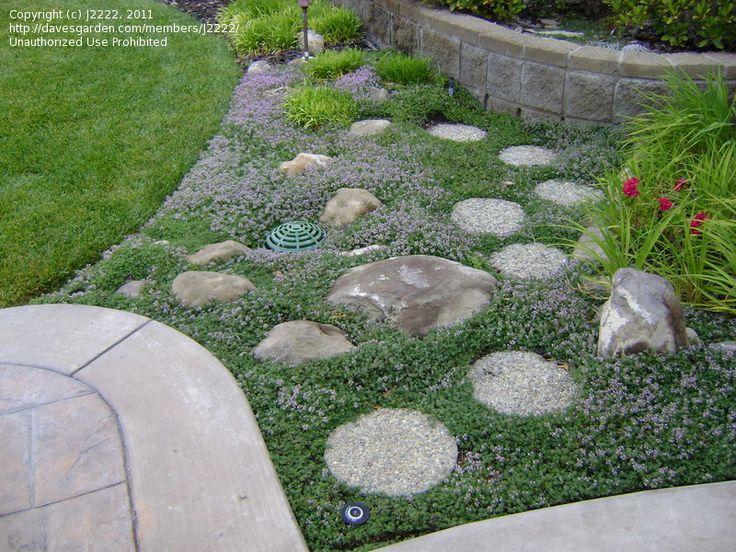 thymus woolly   Woolly Thyme   The Garden