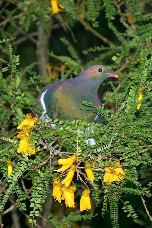 New Zealand wood pigeon Kukupa