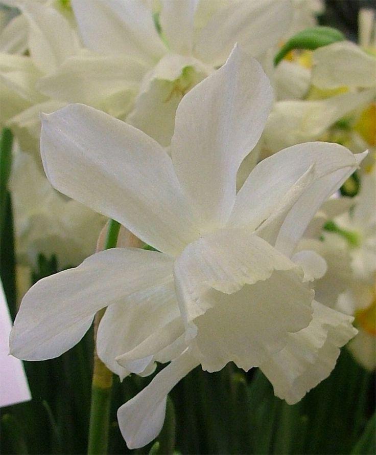 Narcissus Thalia - Triandrus Narcissi - Narcissi - 100