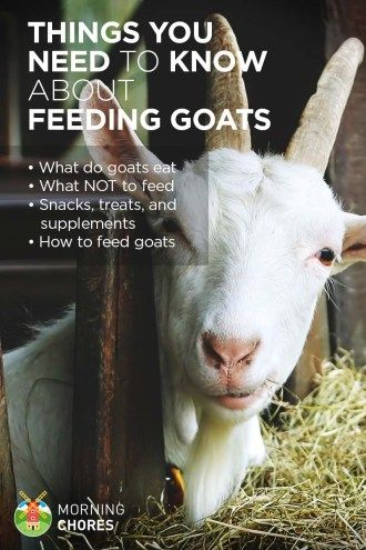 Planning to raise goats? Here's everything you need to know about feeding them: what do goats eat, best snacks or treats, and how to feed your goat.