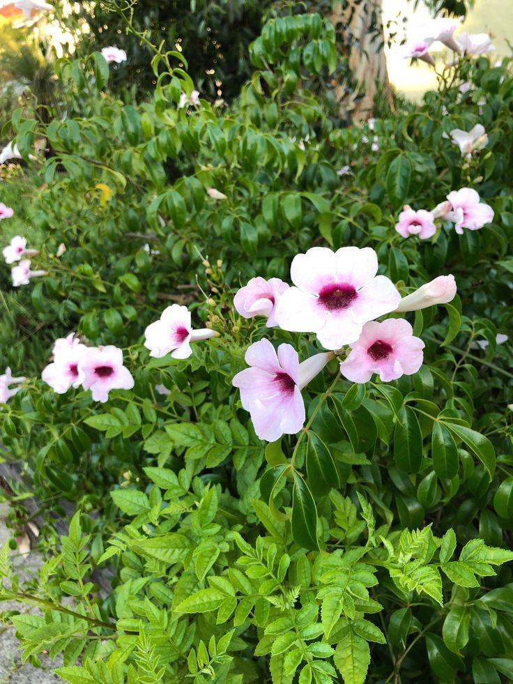 Pandorea jasminoides  #Flowering #Perth #January