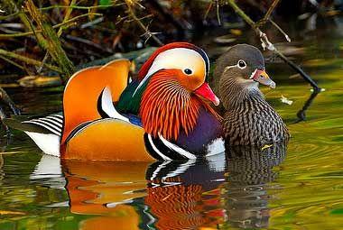Mandarin duck - Buscar con Google