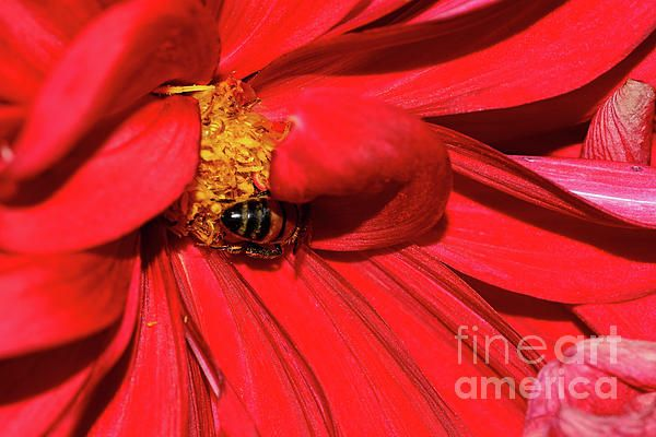 #Bee on Red #Dahlia by #Kaye_Menner #Photography Quality Prints Cards Products at: http://kaye-menner.pixels.com/featured/bee-on-red-dahlia-by-kaye-menner-kaye-menner.html