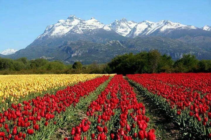 Campos de tulipanes, Trevelin, Argentina