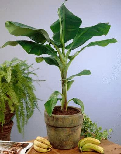 Best 25 Banana tree for sale ideas on Pinterest Accordion for