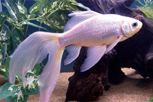 The goldfish (Carassius auratus) was first bred by the Chinese several centuries ago and was introduced into the modern world in the last century.It remains one of the most popular aquarium fish and a favourite for ornamental ponds.