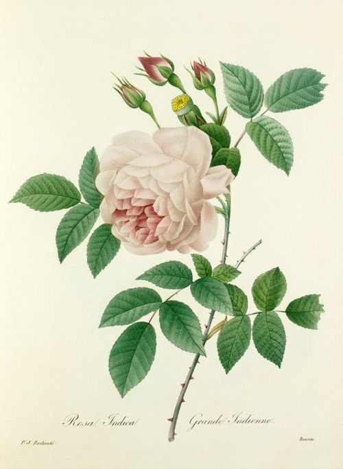 Pierre-Joseph Redouté #botanical #illustration #rose