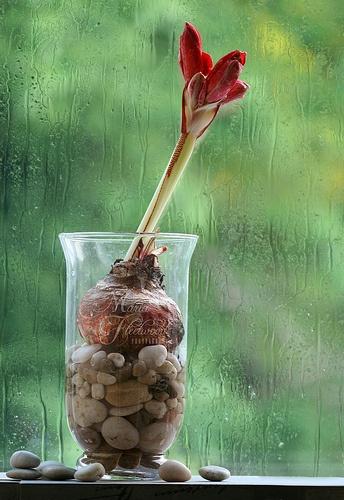 Gardenista Giveaway Waxed Amaryllis Bulbs For The Holidays Gardenista Amaryllis Bulbs Bulb Flowers Amaryllis