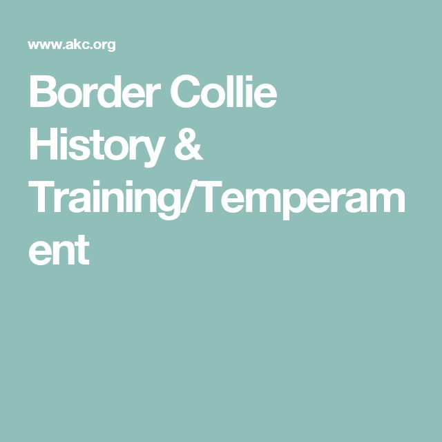 Border Collie History & Training/Temperament