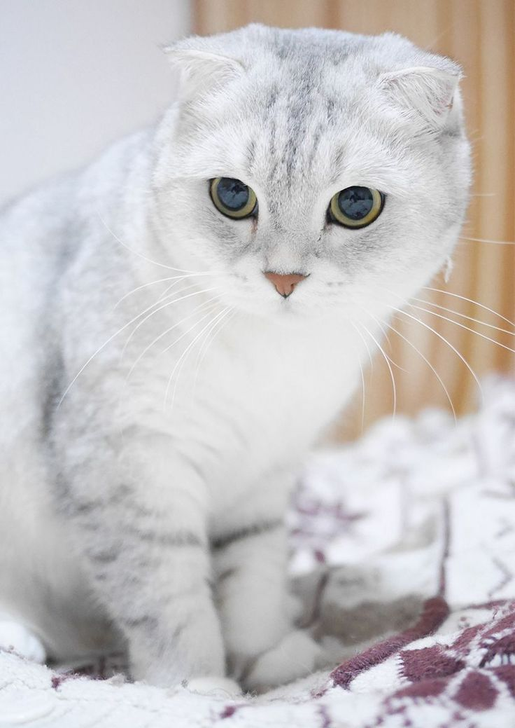 Scottish Fold Cats A Complete Guide Cat Scottish Fold Cat