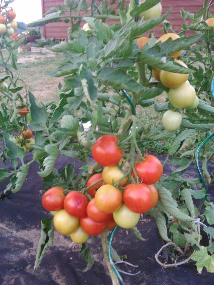 roubované rajče