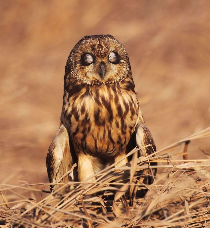 Short-eared owls are one of the few owl species that can be seen hunting during the day, or in this case taking a nap!