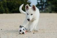 Welpe am Strand Weißer Schäferhund