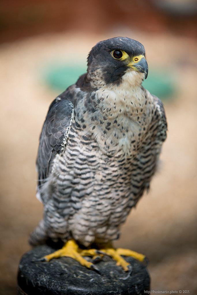 Falcon https://flic.kr/p/yZ8LVw