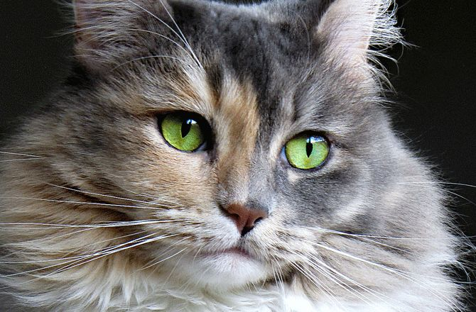 7 Common Eye Problems in Cats