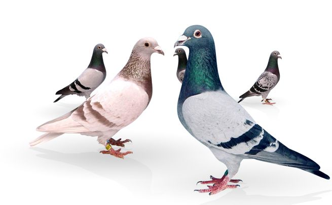 homing pigeons - Google Search