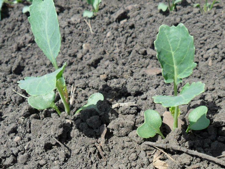 Как я получаю капусту без выращивания домашней рассады