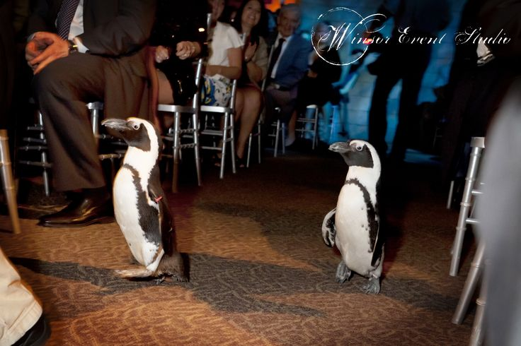 Instead of tradition ring bearers, penguins walk down the aisle to announce the bride's entrance! (Florida Aquarium wedding)