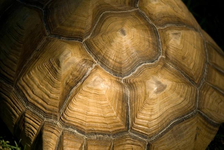 this tortoise shell looks like tree rings island of