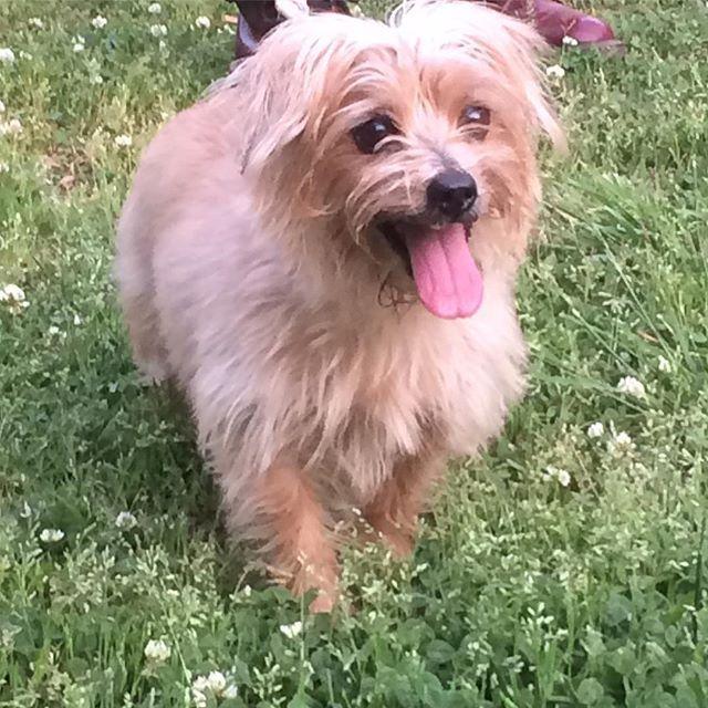 この前のお散歩🎵🐶✨✨ #愛犬 #ノーフォークテリア #キラキラ笑顔 #公園デート #小さな幸せ #犬 #可愛くてたまりません(〃▽〃)❤️