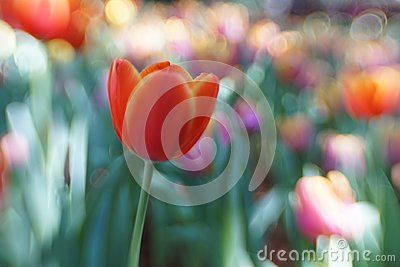 Lily Flower Bokeh Colorful - a blurred background