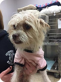 New York, NY - Kordell was saved from Brooklyn NYCACC-Yorkie, Yorkshire Terrier Mix. Meet Kordell, a dog for adoption. http://www.adoptapet.com/pet/16974496-new-york-new-york-yorkie-yorkshire-terrier-mix