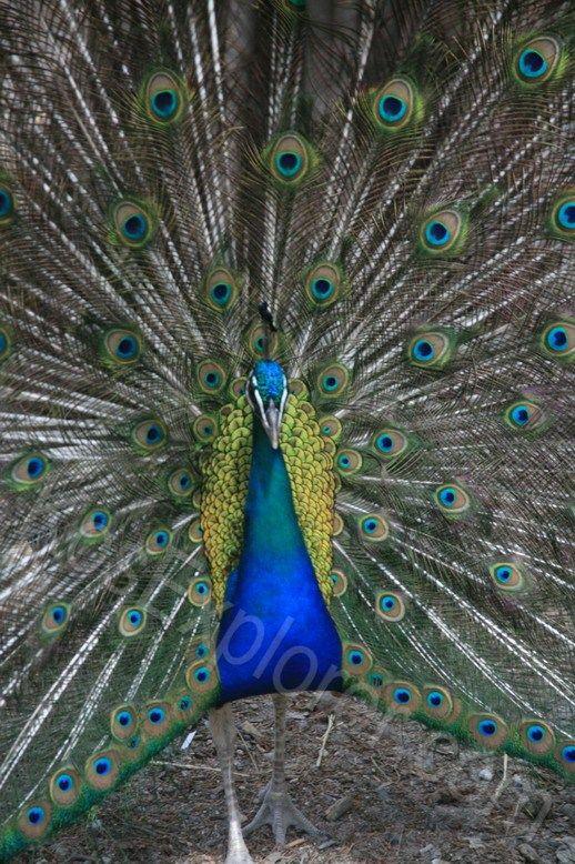 #Peacocks roam free at Plaka National Park! #nature #kos #greece
