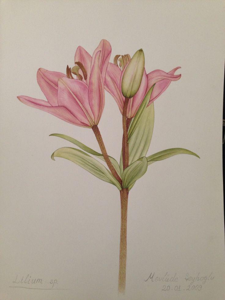 Bitki ressamlığı çalışmasıLilium